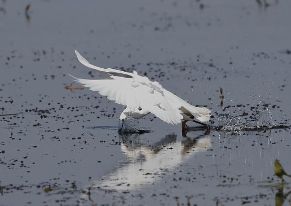 Little Egret Fishing by NeilSchofield