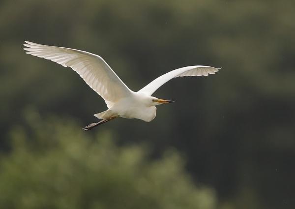Great Egrets in Flight by NeilSchofield