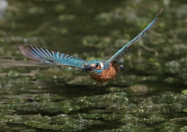 Ryemead Kingfishers by NeilSchofield