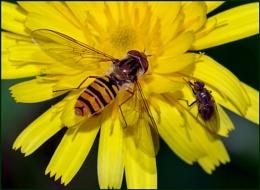 Marmalade Hoverfly-Episyrphus balteatus.
