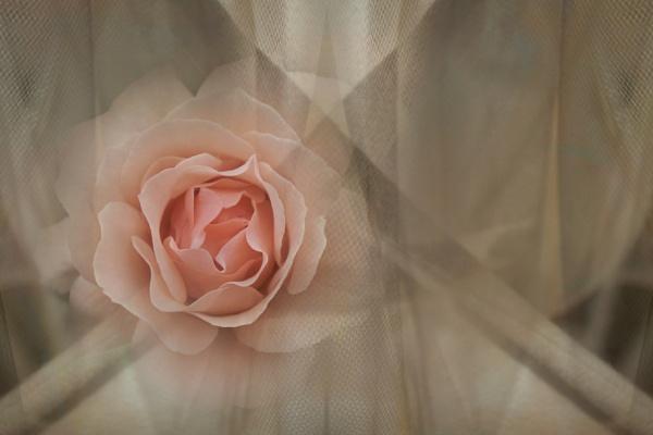 My last rose for Barbara by helenlinda