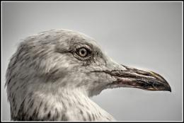 Defiant Gull