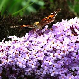Butterfly at Bressingham Gardens