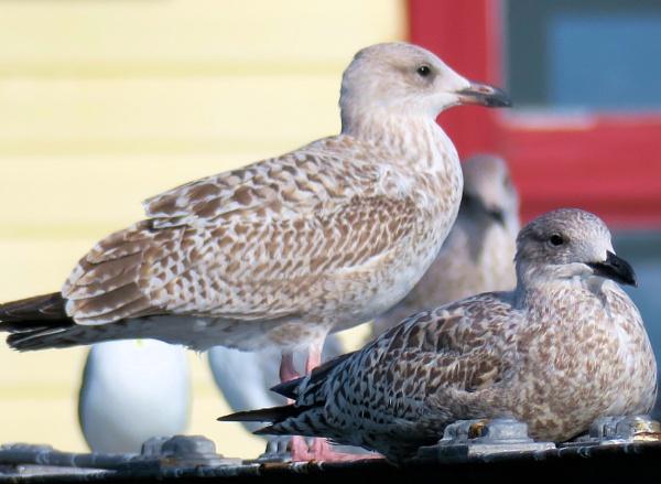 Seagulls on patrol by pjdavies_wales