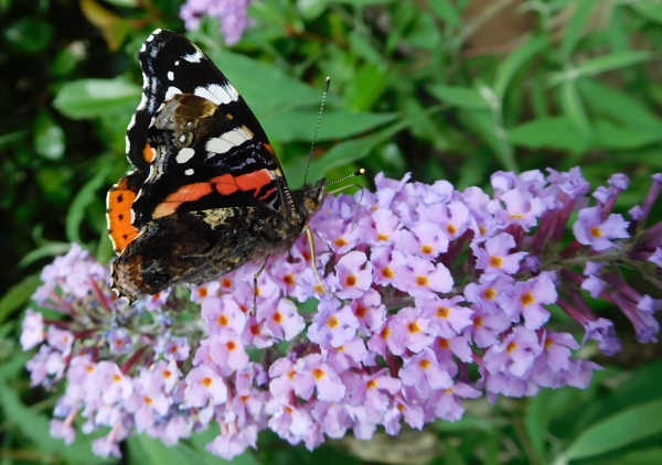 Red Admiral by SUE118