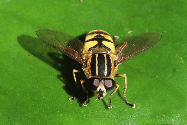 Shadowy Hoverfly by HobbitDave