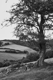 Tree - Bedwas