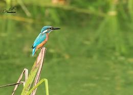 Kingfisher in the ballance