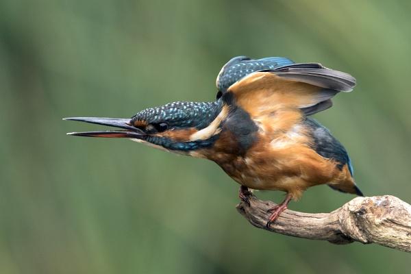 Kingfisher Morgan by AlanWillis