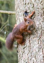 Red squirrel hide and seek