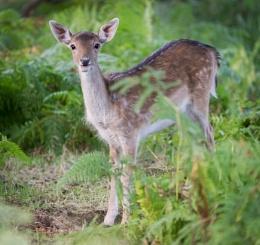 Fallow Deer Doe II