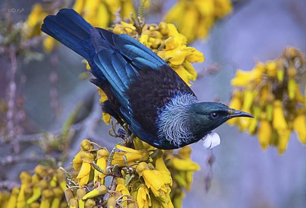Tui (#2221) on Kowhai tree today. by paulknight