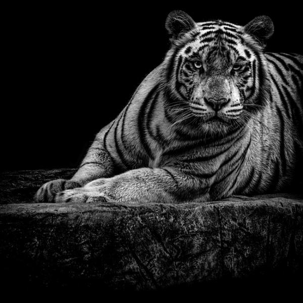 White Tiger by kit-monster