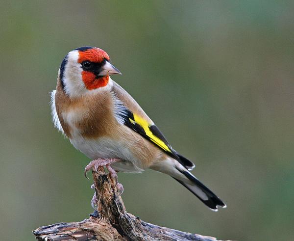 Goldfinch by stokesy