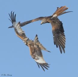 Birds in Fight