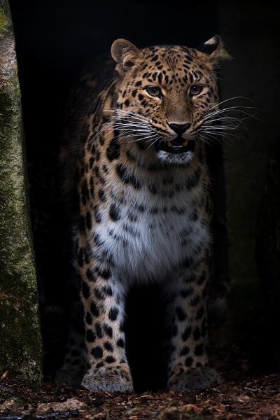 Leopard by MartinWait