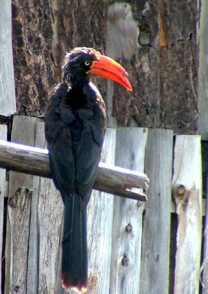 Hornbill by JuBarney