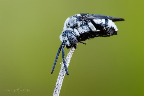 Cuckoo Bee - Thyreus histrionicus by Mendipman