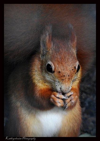 Red Squirrel awareness week. by kathrynlouise