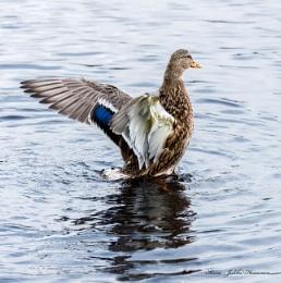 Myllylampi ducks.