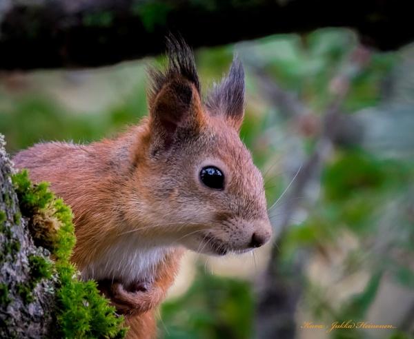 Squirrel. by Jukka
