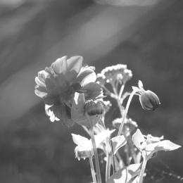 Photo : Dahlia