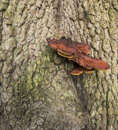 Blushing bracket fungi