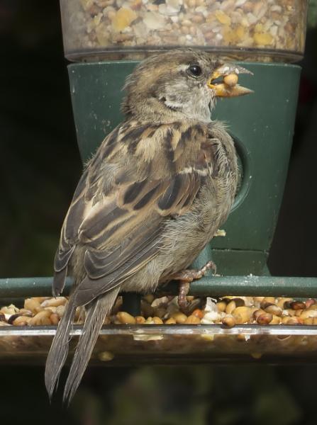 Sparrow by mashwood10