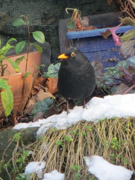 Cool Blackbird