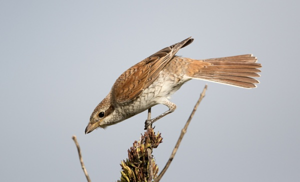 Red-backed Shrike (Lanius collurio) by stu8fish