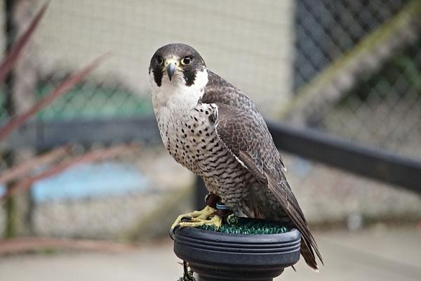 Peregrine falcon by kingsransom
