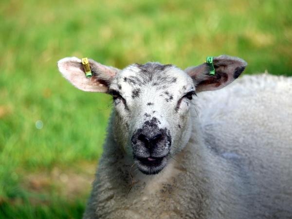 Ewe by DerekHollis