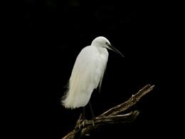 Little Egret preening.