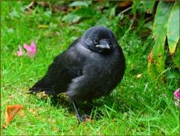 Fledgeling Blackbird.