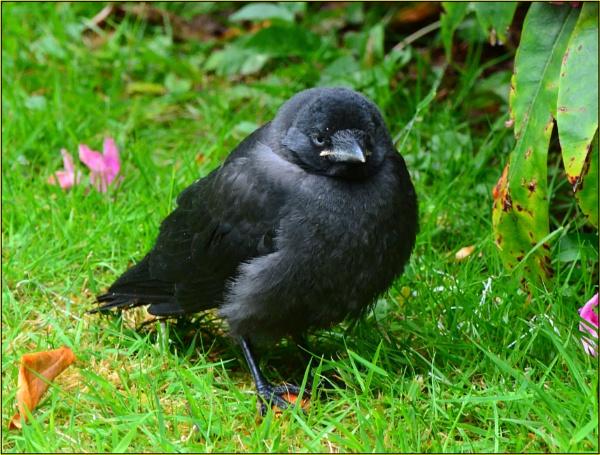 Fledgeling Blackbird. by Moebee