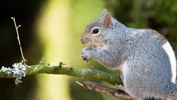 Grey Squirrel eating peanuts by Idemandyoukeepstill