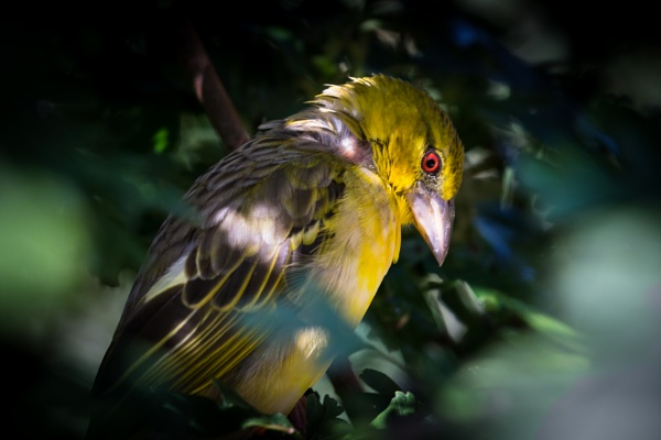 Village Weaver by grahammooreuk