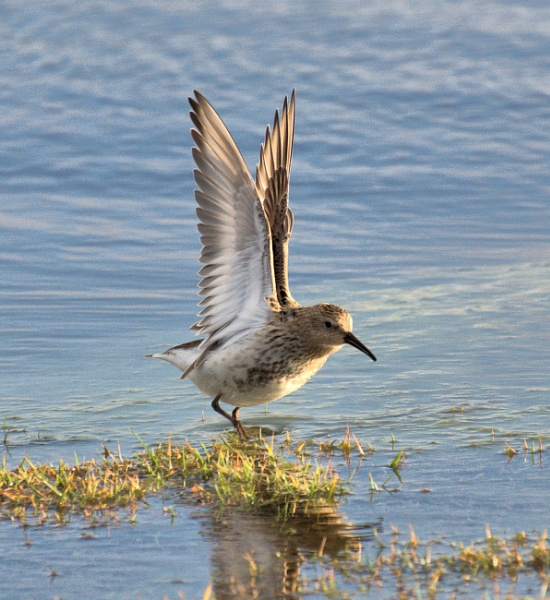 Little Stint by HelenMarie