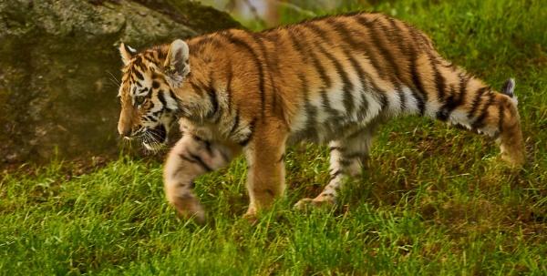 Amur Tiger Cub by JJGEE