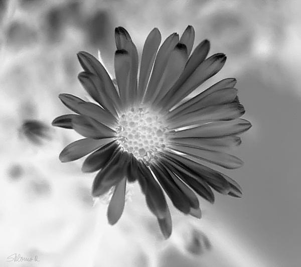 Flower   by SHR