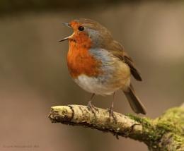 Happy Robin