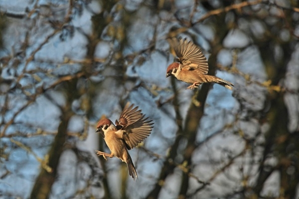 Tree Sparrows by DJP64