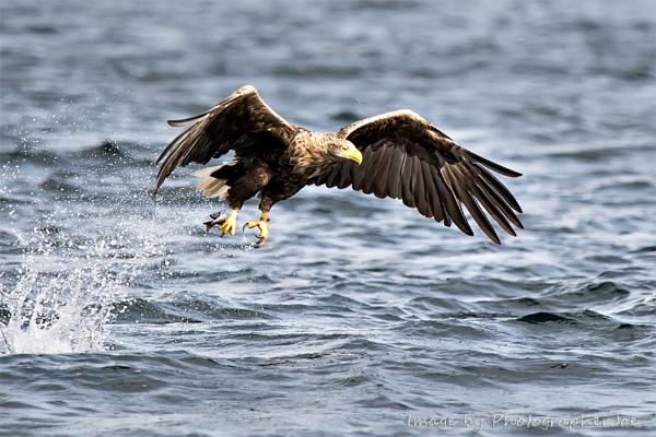White Tailed Sea Eagle by photographerjoe