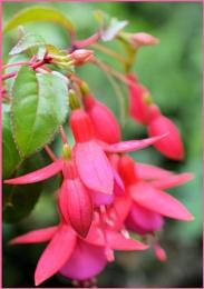 Garden Fuschia