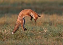 Linford Lakes Fox