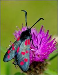 6 spot burnet moth.