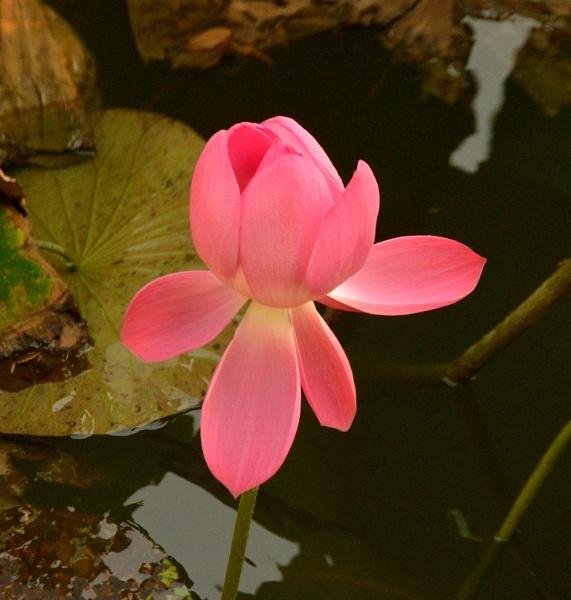 Lotus Flower. by peterthowe