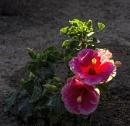 Dwarf Hibiscus by nonur
