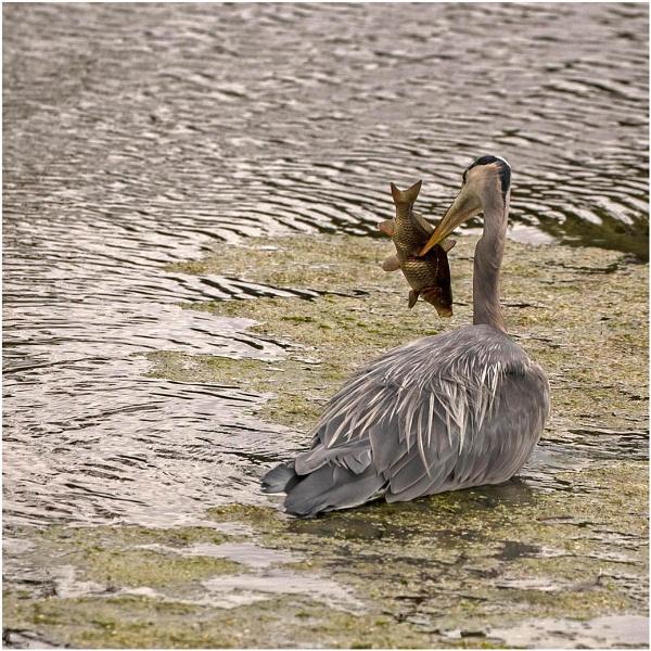 Heron Versus Fish by Lillian