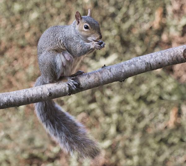 Grey Squirrel. by Gavin_Duxbury